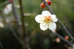 日本の代表的な花の梅の花の写真素材 [FYI01754528]