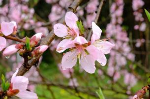 日本の代表的な花の梅の花の写真素材 [FYI01754545]