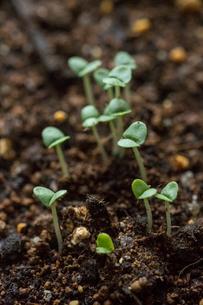 苗床のバジルの芽の写真素材 [FYI01754650]