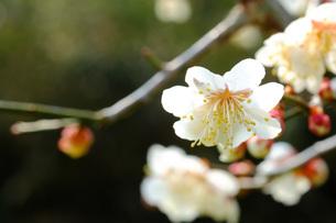 日本の代表的な花の梅の花の写真素材 [FYI01754732]