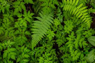 緑の中のシダの写真素材 [FYI01754776]