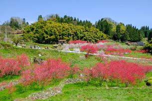 日本の代表的な花の梅の花の写真素材 [FYI01754780]
