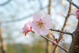日本の代表的な花の梅の花の写真素材 [FYI01754790]