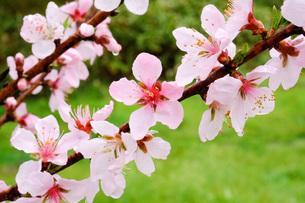 日本の代表的な花の梅の花の写真素材 [FYI01754814]