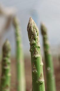 畑のグリーンアスパラの写真素材 [FYI01754824]