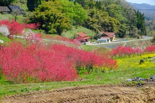 日本の代表的な花の梅の花の写真素材 [FYI01754869]