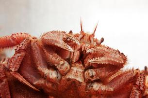水槽の毛蟹の写真素材 [FYI01754983]
