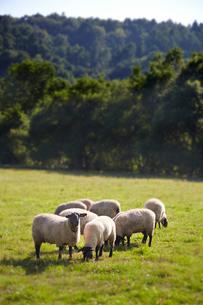 羊,サフォークの写真素材 [FYI01755041]