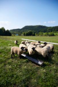 羊,サフォークの写真素材 [FYI01755126]