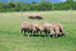 羊の群れの写真素材 [FYI01755147]