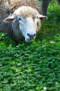 草を食べる羊の写真素材 [FYI01755312]