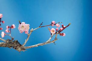梅の花の写真素材 [FYI01755400]
