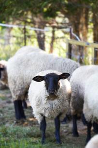 羊,サフォークの写真素材 [FYI01755488]