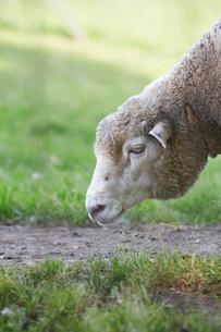 羊の写真素材 [FYI01755546]