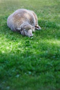羊の昼寝の写真素材 [FYI01756075]