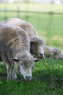 草を食べる羊の写真素材 [FYI01756093]