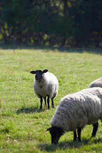 羊,サフォークの写真素材 [FYI01756243]