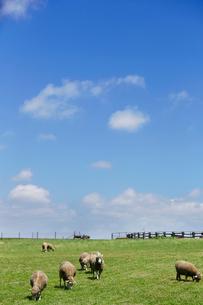 草を食べる羊の写真素材 [FYI01756278]