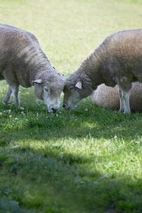羊の写真素材 [FYI01756383]