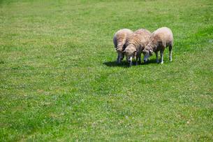 羊の群れの写真素材 [FYI01756445]