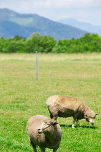 羊の群れの写真素材 [FYI01756447]