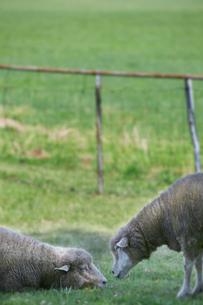 羊の写真素材 [FYI01756674]