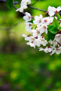 桜の写真素材 [FYI01756681]