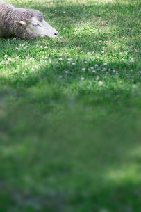 羊の昼寝の写真素材 [FYI01756713]