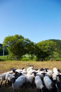 羊,サフォークの写真素材 [FYI01756719]