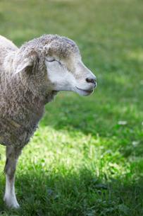 羊の写真素材 [FYI01756727]