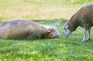 羊の写真素材 [FYI01756870]