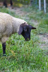 羊,サフォークの写真素材 [FYI01756877]