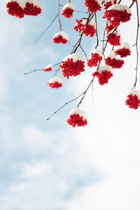 新雪とななかまどの写真素材 [FYI01757062]
