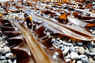 採れたての羅臼昆布を干している風景の写真素材 [FYI01757212]
