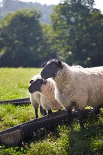 羊,サフォークの写真素材 [FYI01757291]