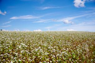 花満開のそば畑の写真素材 [FYI01757488]
