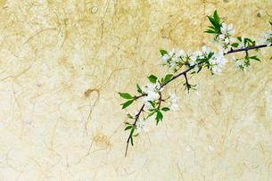 桜の写真素材 [FYI01757605]