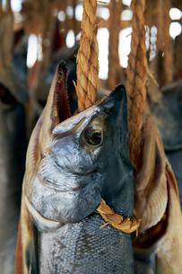 鮭を干している風景の写真素材 [FYI01757617]