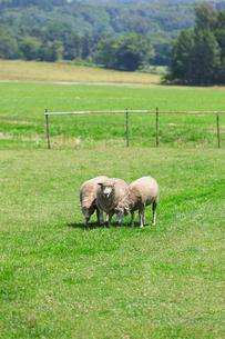 羊の群れの写真素材 [FYI01757838]