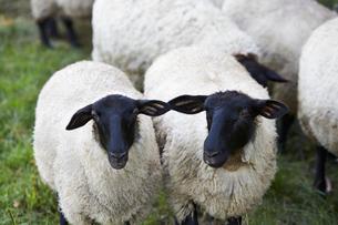 羊,サフォークの写真素材 [FYI01757848]