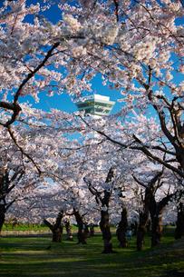 五稜郭公園の桜の写真素材 [FYI01758471]