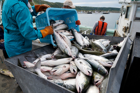 鮭漁のイメージ写真の写真素材 [FYI01759249]