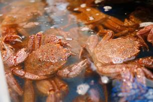 水槽の中の毛蟹の写真素材 [FYI01760367]
