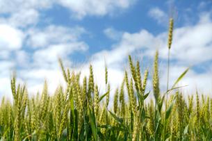 小麦のイメージ写真の写真素材 [FYI01760409]