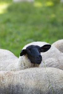 羊,サフォークの写真素材 [FYI01760877]