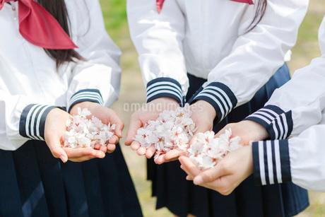 手の平に集めた桜の花の写真素材 [FYI01761519]