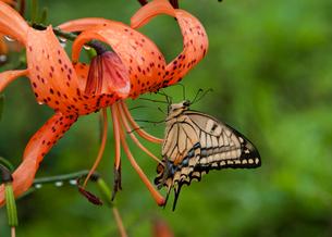オニユリに止まるアゲハチョウの写真素材 [FYI01762117]