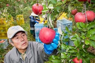 りんごの収穫の写真素材 [FYI01762199]