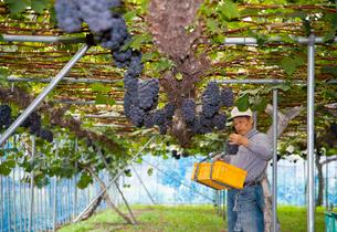 ピオーネの収穫の写真素材 [FYI01762230]