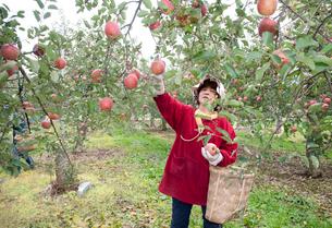 りんごの収穫の写真素材 [FYI01762315]